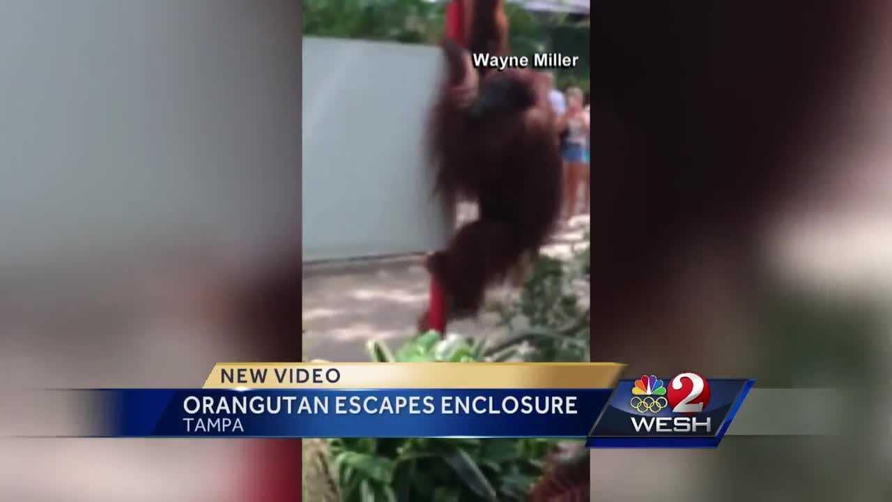 Escaped orangutan captured, FWC says