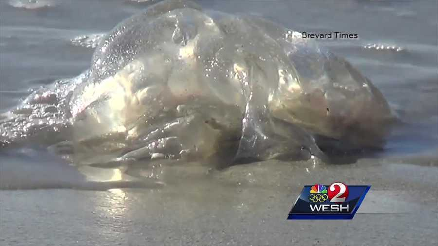 Potentially lethal jellyfish spotted along beaches - photo#40