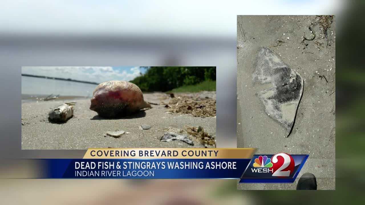 Dead fish, stingrays wash ashore in Brevard County