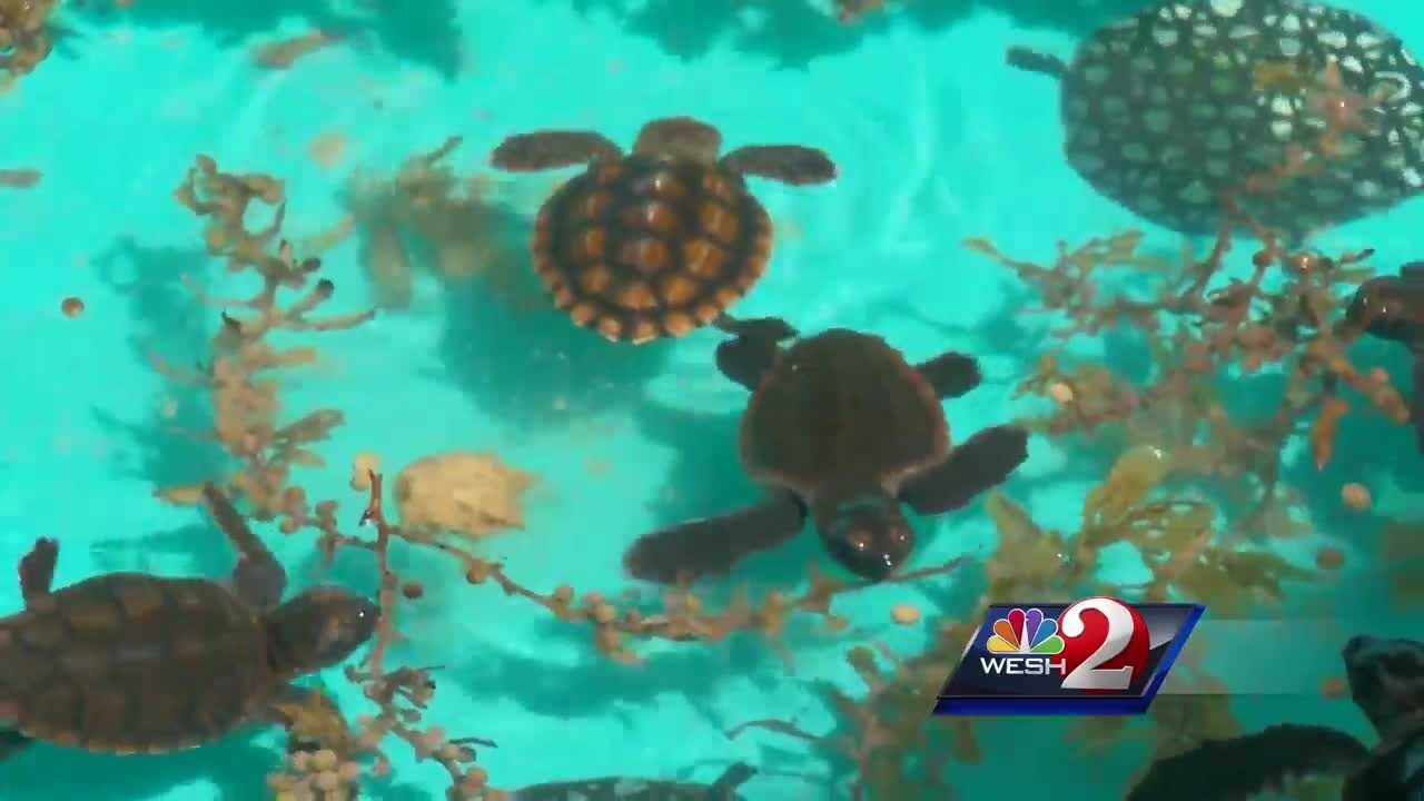 Storms hurting baby sea turtles in Volusia County