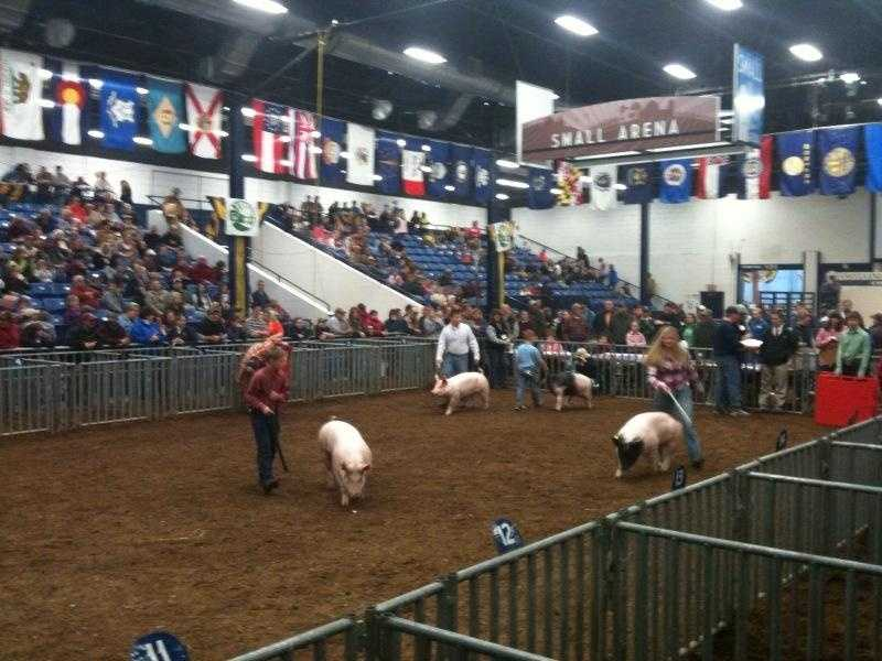The Thrill of Victory: If you've never seen it, you'll be surprised at how cut-throat the competition can be at the Farm Show. Take a seat and watch. The judges do a good job of explaining why they pick one animal to win over the other.
