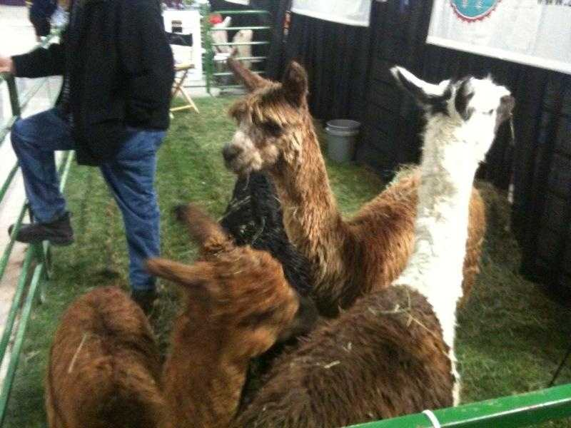 Alpacas: There are only a few alpacas at the Farm Show each year, so good luck trying to find them. But when you do, don't stand too close. They actually CAN spit.