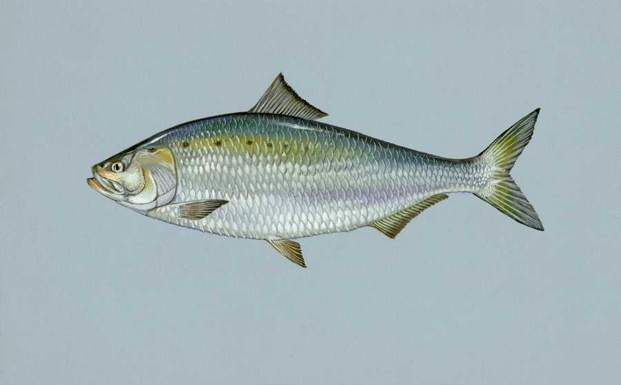Shad, American (Alosa sapidissima): 9 lb. 9 oz. -- caught by Anthony Mecca of Peckville in 1986 at the Delaware River.