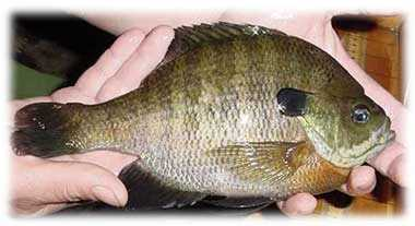 Bluegill (Lepomis macrochirus): 2 lb. 9 oz. -- caught by Tom Twincheck of Blairsville in 1983 at Keystone Lake.