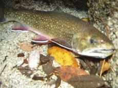 Trout, Brook (Salvelinus fontinalis): 7 lb. -- caught by Vonada Ranck of Watsontown in 1996 at Fishing Creek.