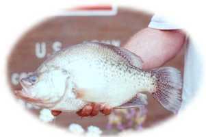Crappie, White crappie (Pomoxis annularis) or Black crappie (Pomoxis nigromaculatus): 4 lb. 2.88 oz. -- caught by Richard A. Pino of Covington in 2000 at Hammond Lake.