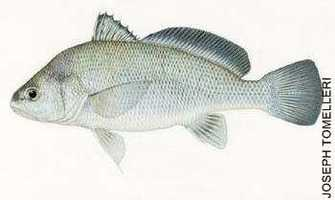 Drum, Freshwater [Sheepshead] (Aplodinotus grunniens): 19 lb. 14 oz. -- caught by Tom Rogers of Finleyville in 1994 at the Monongahela River.