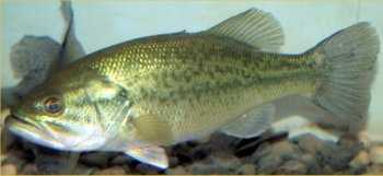 Bass, Largemouth (Micropterus salmoides): 11 lb 3 oz.-- caught by Donald Shade of Waynesboro, Pa. in 1983 at the Birch Run Reservoir.