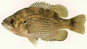 Bass, Rock (Ambloplites rupestris): 3 lb. 2 oz. -- caught by David L. Weber of Lake City in 1971 at Elk Creek.