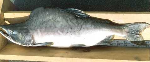 Salmon, Pink (Oncorhynchus gorbuscha): 4 lb. 8 oz. -- caught by David Rabatin in 1995 at Elk Creek.