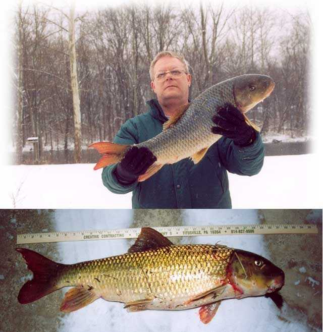 Sucker, White (Catostomus commersoni): 12 lb. 14.4 oz. -- caught by Raymond C. Szalewicz of Titusville in 2003 at the Allegheny River.