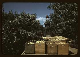 Hauling crates of peaches from the orchard to the shipping shed in Delta County, Colo. Russell Lee captured this photo in September 1940.