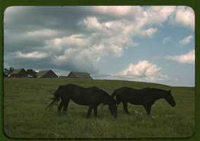 Work horses near Junction City, Kansas. John Vachon captured this image in either 1942 or 1943.