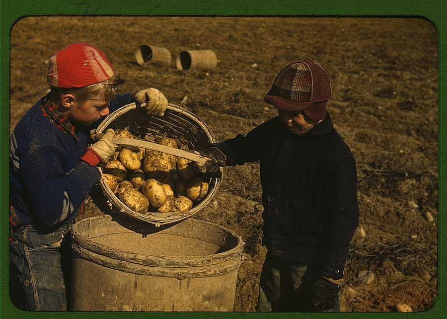 Children gathering potatoes on a large farm in the vicinity of Caribou, Aroostook County, Me. Schools did not open until the potatoes were harvested. Jack Delano took this image in October 1940.