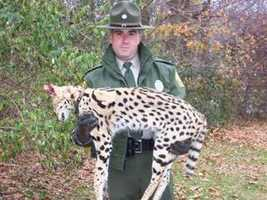 An exotic African cat called a serval was shot and killed on a Chester County farm on the evening of Nov. 25, 2008, according to the Pennsylvania Game Commission. The day after it was shot, Chester County WCO Scott Frederick collected the dead animal and took it to a regional office in Reading.