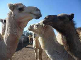 Arizona: Hunting camels in Arizona is prohibited. Why are there camels in Arizona you may ask? The U.S. Army experimented with them in the Arizona desert and when they were done, the remaining camels were set free and are now protected.