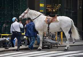 New York: Tapering with a horse's tail will earn you one year in jail.
