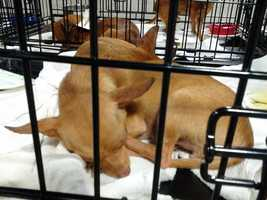Some of the nearly 200 Chihuahuas rescued from a home in Columbia County last week have found homes but many are still waiting to be adopted.