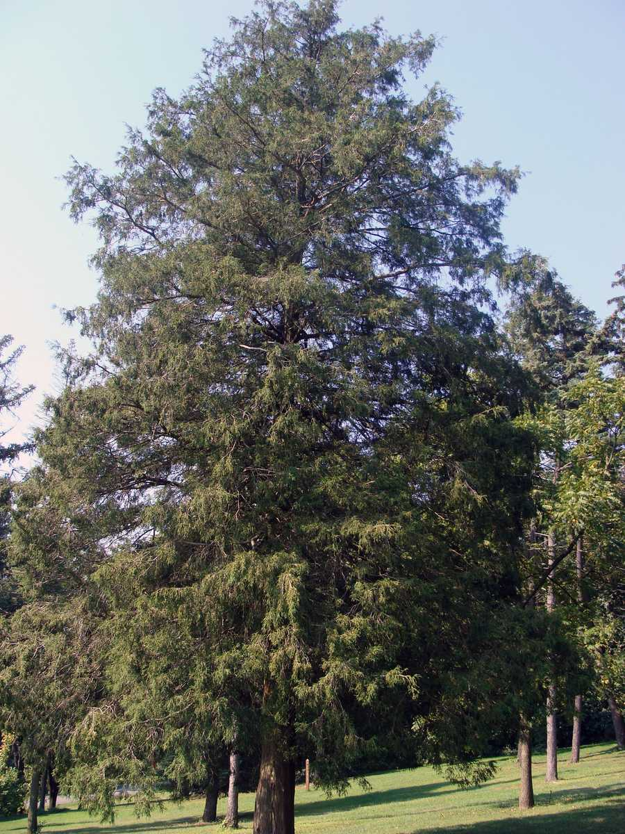 This is a Lawson False Cypress.