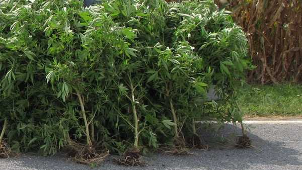 Police said they found the marijuana growing in a field near the intersection of Safe Harbor Road and Stehman Church Road.