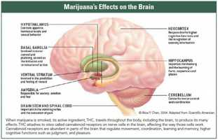 """8. THC acts upon specific sites in the brain, called cannabinoid receptors, kicking off a series of cellular reactions that ultimately lead to the """"high"""" that users experience when they smoke marijuana."""