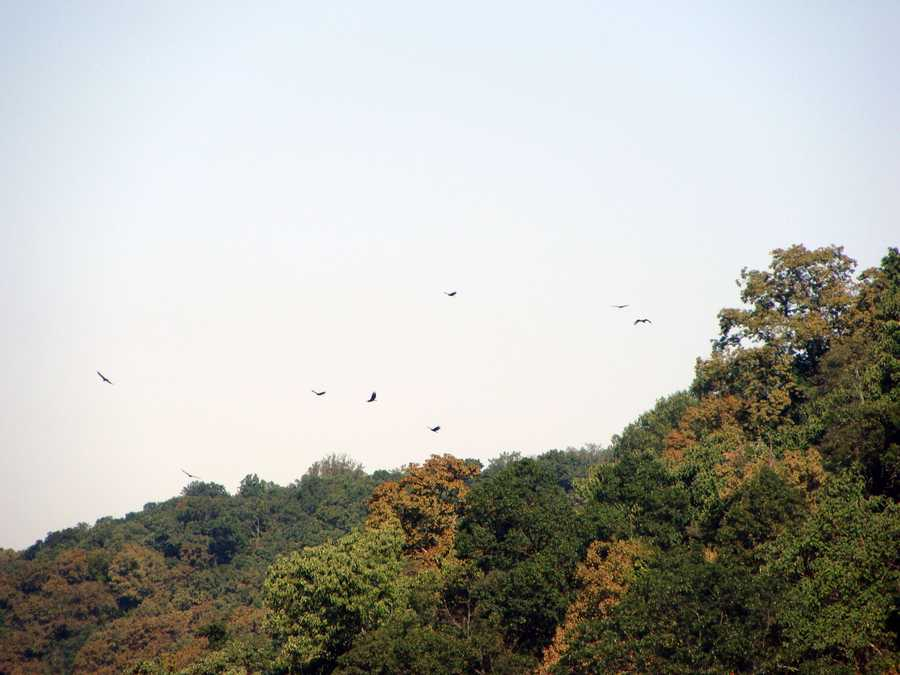 These hawks were spotted from Wissler's Run overlook.