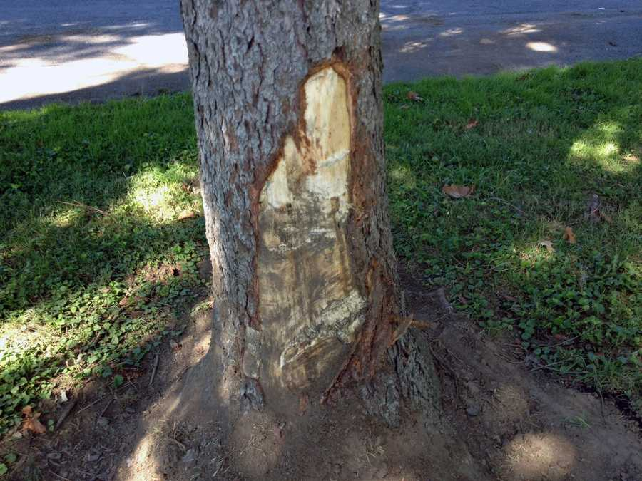 The police cruiser also struck this tree.
