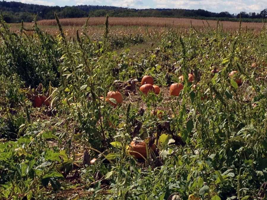 Pumpkins are now available at Flinchbaugh's Orchard & Farm Market in Hellam, York County.