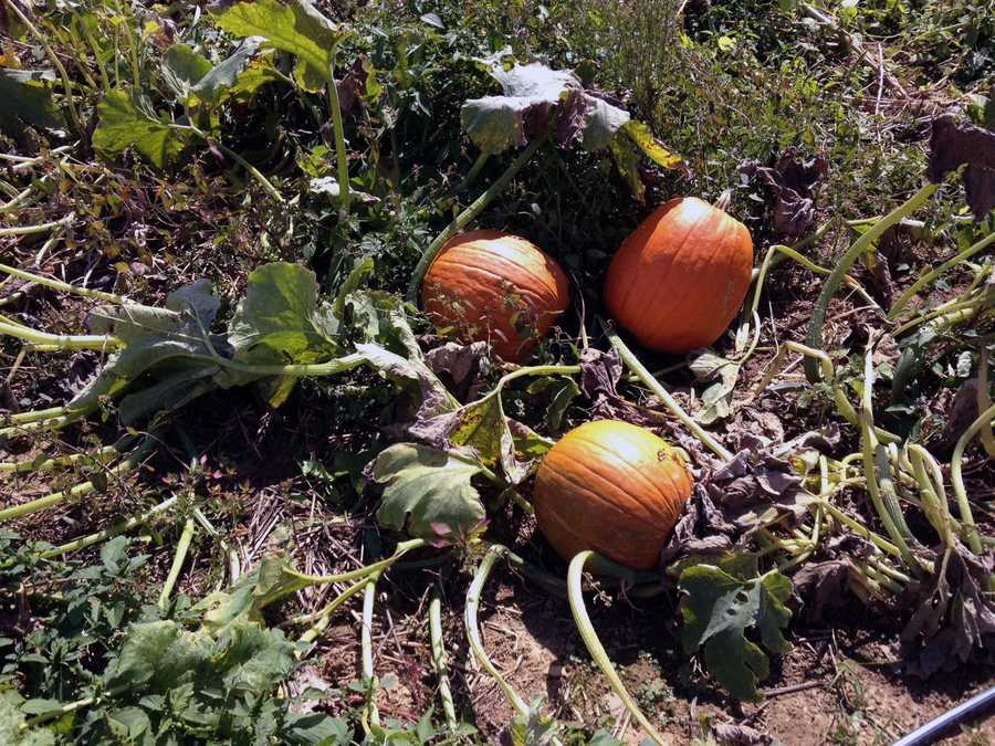 Market officials said the pumpkins are in good condition this year.