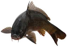 This is a common carp, an invasive species that first gained a finhold in American waterways in the late 1870s. The fish reproduced very quickly, killed native species and became a pest. So what better way to get rid of it than to eat it.