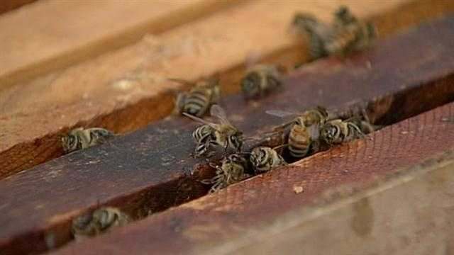 BEE COLLAPSE