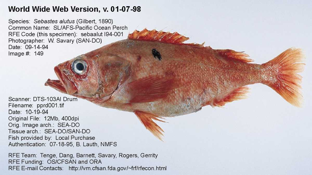 Seafood what does that fish on your plate really look like for Sea perch fish