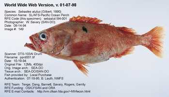 Perch can be of several different varieties, including Pacific Ocean Perch, shown here, and Golden Redfish. Each fish can legitimately be sold under the name Perch. There is also a freshwater variety of Perch.