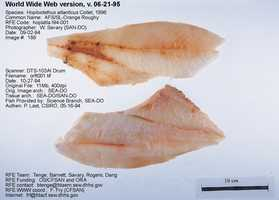 Orange Roughy is what it sounds like -- Orange Roughy.