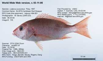Snapper can be a large variety of fish, including: Gray Snapper, Lane Snapper, Pacific Snapper, Caribbean Snapper (shown above), Red Snapper, Silk Snapper and Yellow Snapper.