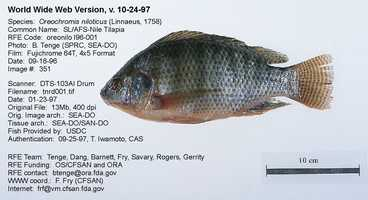 This is a Nile Tilapia.