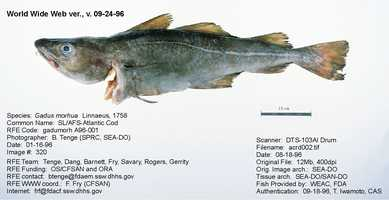 There is Atlantic Cod (shown) and Pacific Cod (sometimes called Alaska Cod).