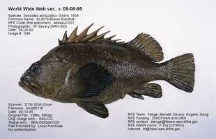 Rockfish can be any of nearly a dozen types of fish including: Brown Rockfish (shown above), Canary Rockfish, Chilipepper Fish, Redstripe Rockfish, Rougheye Rockfish and Yellowtail Rockfish.