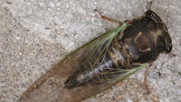 Adult cicada.