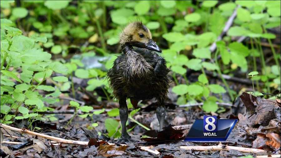 About a dozen ducks and geese died due to the spill,but many others have been rescued.