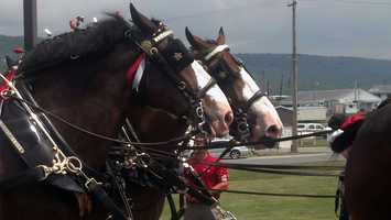 The world-famous Budweiser Clydesdales arrived at Hollywood Casino at Penn National Race Course on Tuesday.