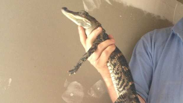 A Lancaster County PPL crew captured a small American Alligator around 11:30 p.m. Monday night on Route 272 near Pequea.