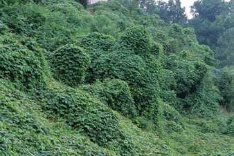 """Kudzu-Vine- Pueraria Lobata: Kudzu has also been called, """"The weed that ate the South."""" The vine is particularly prominent there, but also has made its way into Pennsylvania. Kudzu is known for outcompeting any plant around it. The weed grows incredibly fast, up and over other plants, eventually smothering them. According to the Department of Ag., it is reported that growth is so rampant in the southeastern U.S. that an abandoned car can be covered with vines in a few weeks, and a vacant house completely overgrown in the course of a summer."""