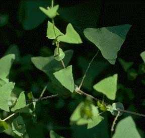 """Mile-a-Minute- Polygonum Perfoliatum: Mile-a-minute, also known as """"tear thumb"""" due to the spikes found along its stems, usually grows along roadsides and in moist thickets. The plant grows very quickly and has been known to choke out other plants in orchards and in nurseries."""