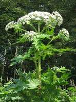 Giant Hogweed - Heracleum Mantegazzianum: The poisonous sap of giant hogweed poses a serious risk to humans. It can cause blindness if it gets into a person's eyes. It can also cause third-degree burns in susceptible people. If you think you've seen this plant, you can alert the Department of Ag at their hotline at 1-877-464-9333.