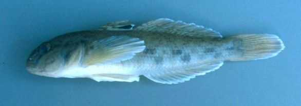 "5. Round goby, Neogobius melanostomus: Round gobies have been found in Lake Erie. Many areas where they are can best be described as ""infested,"" according to the USGS."