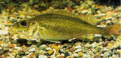 6. Ruffe, Gymnocephalus cernuus: Ruffe have been found in the Great Lakes. They can reduce populations of the popular Yellow Perch by preying on their young.