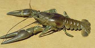 The Rusty crayfish may also reduce the native crayfish populations.