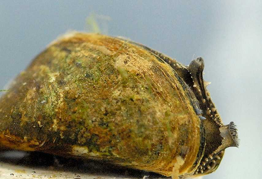 11. Zebra mussel, Dreissena polymorpha: Zebra mussels are established in all of the Great Lakes and most of the large navigable rivers in the eastern U.S., according to the USGS.