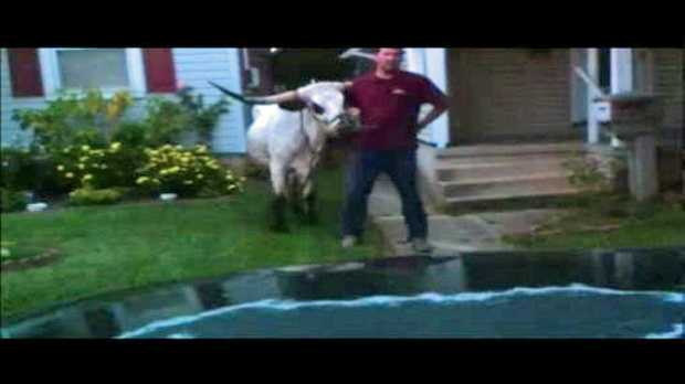 A News 8 viewer captured this image of the loose steer.